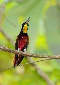 Topaza Pella (Maior beija-flor do Brasil!! Topaza Pella (Maior beija-flor do Brasil