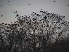 It is not really known why birds roost together. it is thought because it is a favorable spot.