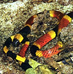 Eastern Coral Snake (Micrurius fulvius fulvius)