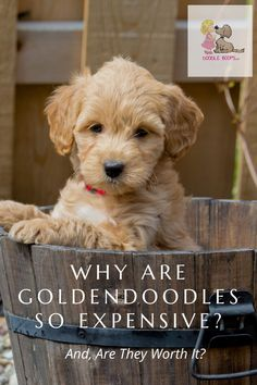 Have you considered getting a Goldendoodle but were then somewhat taken aback when you found out what their going rate is? We've published an entire article here that may help to answer some of your questions.