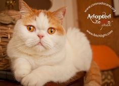 Pumpkin Bob is so handsome, this purebred Scottish fold was adopted from CoronadoCARES and Coronado Vet Hospital super fast! www.coronadocares.org
