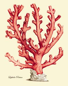 Hey, I found this really awesome Etsy listing at https://www.etsy.com/listing/155430652/red-sea-coral-art-print-vintage-old