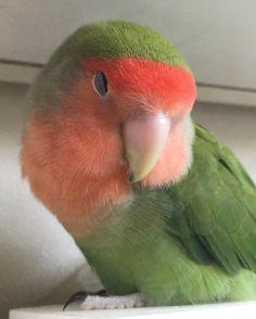 眠たいむにゃむにゃ   #インコ #インコ部 #鳥 #小鳥 #kotori  #コザクラインコ #kozakura #bird #birds  #pet #petbird #parrot #peachfacelovebird  #petsofinstagram #love #lovebird  #ふわもこ部 #ふわもこ #フワモコ部#ふわふわ #もふもふ #もこもこ #fluffy by kag0624 http://www.australiaunwrapped.com/