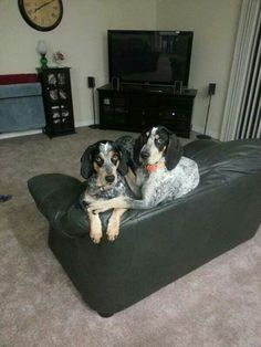 Two bluetick hounds...