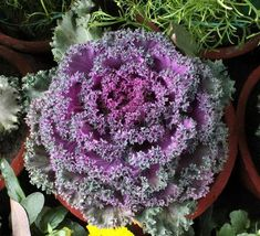 Your guide to growing and harvesting cold season Flowering Kale. Gardening For Beginners, Gardening Tips, Vegetable Garden, Garden Plants, Flowering Kale, Growing Hibiscus, Fall Window Boxes, Plant Guide, Hibiscus Flowers