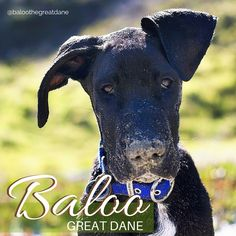 All legs and ears, this is Baloo the Great Dane when he was a pup. He's been snuffling in the sand and having a high old time. Baloo's now just over 3 years old, and loves chewing sticks, although rumour has it he's not a big fan of balloons!  #instagram #dogs #Baloo