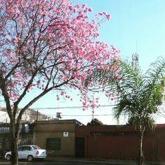 ¡Llegó a época del lapacho en flor! 😍🌸🤗 24 grados marca el termómetro en la capital correntina, la máxima de hoy según anuncia el @smn_argentina será de 31° ☉ ¿Cuál es tu color de lapacho proferido? 🙆😊 | 📷 @nicolas_alo