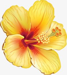 Hibiscus syriacus jaune, Hibiscus Syriacus, Jaune, Dessin PNG Image and Clipart