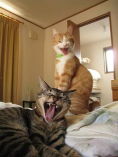 Two cute cats wrestling in bed! Screaming Yeah Baby it's Friday! Thank God It's Friday! Let the week end begin! I'm ready for rest and relaxation Funny cute I Love Cats, Crazy Cats, Cute Cats, Funny Cats, Funny Animals, Cute Animals, Funny Humor, Cat Fun, Funniest Animals