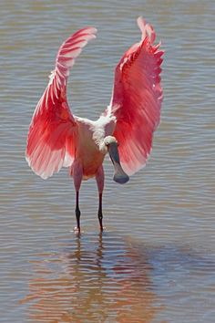 Roseate Spoonbill  (Ajaia ajaja)    Stretching for the first flap of its wings in take-off