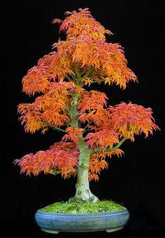 Japanese Maple (Acer palmatum 'Shishigashira') by Wolfgang Putz