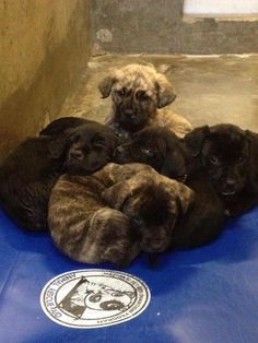 NEXT on DEATH ROW Puppies less than 2 months old. This is a HIGH KILL Shelter. They kill many puppies there. Located at Odessa Animal Control shelter, Texas. https://www.facebook.com/speakingupforthosewhocant/photos/pb.248355401855372.-2207520000.1396632922./752836814740559/?type=3&theater