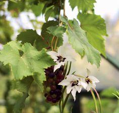 Näin saat kasvihuoneen kukoistamaan: Tuoksumiekkaliljat (Gladiolus callianthus) yltävät suurimmillaan kasvojen korkeudelle. Kannattaa pitää silmällä liljakukkoja, jotka nakertavat reikiä joka puolelle. Ravistelemalla kasveja silloin tällöin näkee punaisten kuoriaisten tipahtelevan maahan. Toukat ovat lehtien alapinnoilla ja muistuttavat tummaa möykkyä, koska ne piiloutuvat oman ulosteensa alle.