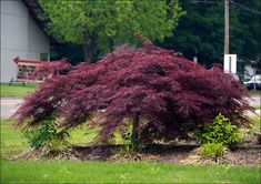 How to Grow a Japanese Maple. Japanese maples are beautiful to behold in a garden and growing them is reasonably straightforward. Choose a Japanese maple. Evergreen Shrubs, Deciduous Trees, Japenese Maple, Japanese Maple Trees, Japanese Maple Garden, Deer Resistant Perennials, Long Blooming Perennials, Chlorophytum, Purple Plants