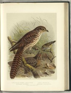 NZ Long-Tailed Cuckoo (adult & young) & Grey Warbler by JG Keulemans (from Walter Buller's 'A History of The Birds of New Zealand' - 1870's)