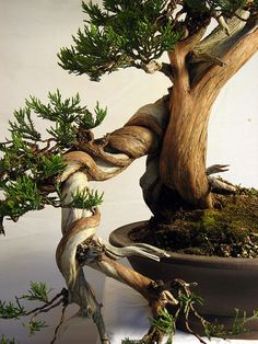 """A fascinating mix of dead and live wood in a cascading bonsai is inspiring for the character of Misho, a little tree exposed to the elements on a mountainside. Sign up at http://dldiehl.com for discounts, giveaway drawings, and release date for """"Misho of the Mountain."""" #bonsai #trees #kidlit #childrensbooks #bookcharacter"""