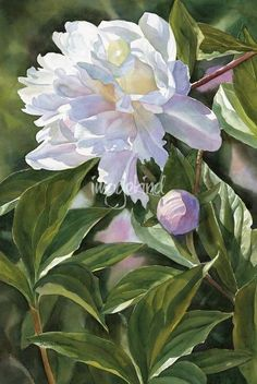 Holy f Insane! White Peony With Bud Painting by Sharon Freeman - White Peony With Bud Fine Art Prints and Posters for Sale Watercolor Landscape, Watercolour Painting, Watercolor Flowers, Watercolors, Peony Painting, Floral Paintings, Landscape Art, Arte Floral, White Peonies