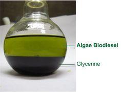 Algae Biodiesel and Glycerine