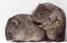 Prairie voles | 11 animals that mate for life | MNN - Mother Nature Network