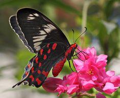 Crimson Rose butterfly..