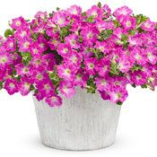 Supertunia® Mini Bright Pink mono-heat and drought tolerant, attracts butterflies and hummingbirds Trailing Petunias, Pink Plant, Drought Tolerant, Bright Pink, Container Gardening, Proven Winners, Planter Pots, Mini, Flowers