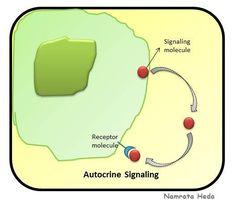 Autocrine Signaling