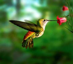 parejas de colibries - Google Search
