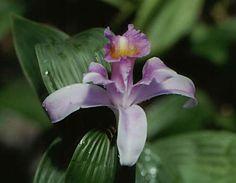 Orchid Flower: Sobralia decoro