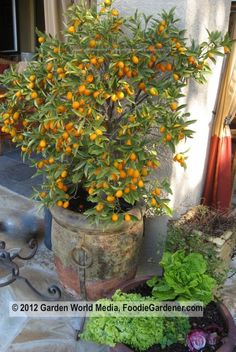 Potted Kumquat tree that produces delish fruit to eat right off the tree!