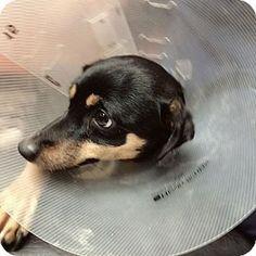 Vancouver, BC - Miniature Pinscher Mix. Meet Hailey, a dog for adoption. http://www.adoptapet.com/pet/17411249-vancouver-british-columbia-miniature-pinscher-mix