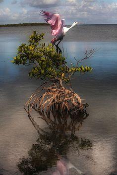 "Roseate Spoonbill ~ Miks' Pics ""Fowl Feathered Friends lV"" board @ http://www.pinterest.com/msmgish/fowl-feathered-friends-lv/"
