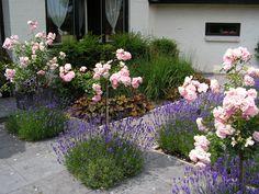 Dee klassieke combinatie van stamrozen en lavendel is toepasbaar in een romantische tuin, maar ook in een modernere vormgeving!