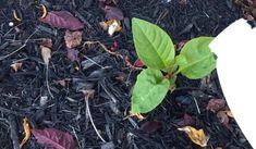 weed control in garden Lawn Organic Gardening, Gardening Tips, Flower Gardening, Container Gardening, Ant Spray, Weed Spray, Killing Weeds, Organic Weed Control, Garden Weeds