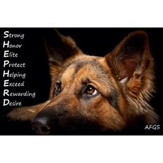 The German Shepherd is one of the most popular dogs in the world for good reason. German Shepherd is a working dog developed originally for herding German Shepherd Pictures, German Shepherd Dogs, German Shepherds, Shepherd Puppies, Schaefer, Dog Walking, T Rex, Beautiful Dogs, Belle Photo