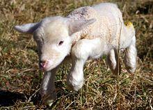 Sheep - Wikipedia, the free encyclopedia