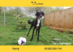Harry at Dogs Trust Darlington is a real fan of his toys and would play forever given the chance. Save A Dog, Dogs Trust, Close To My Heart, Boys Who, Puppy Love, Bring It On, Age, Puppies, Doggies
