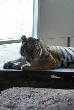 What a smart animal! Tiger, zoo of Vienna, Austria. Tiger Zoo, Vienna Austria, Old Things, Animals, Beautiful, Animales, Animaux, Animal, Animais