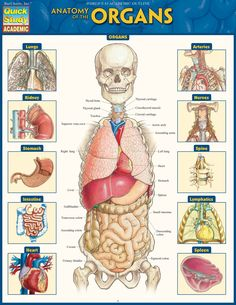 Anatomy Of The Organs Laminated Study Guide 9781423234630 What Are The Organ Systems Of The Human Body Video Lesson Body Anatomy Organs, Human Body Organs, Human Body Anatomy, Human Body Systems, Human Anatomy And Physiology, Arteries Anatomy, Chakra, Medical Anatomy, Anatomy Study