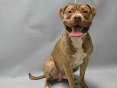 *SICK** - TO BE DESTROYED - 05/29/16 - DAVID - #A1073736 - Urgent Brooklyn - MALE BRN/WHITE AM PIT BULL TER, 1 Yr 6 Mos - STRAY - NO HOLD Intake 05/14/16 Due Out 05/17/16 - 05/26/16 CIRDC, START DOXY