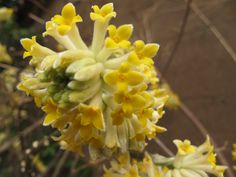 Edgeworthia chrysantha in March Edgeworthia Chrysantha, March, Plants, Plant, Mac, Planets