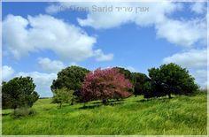 Judas Tree, Ramot Menashe, Israel כליל החורש, רמות מנשה, ישראל http://oren.thesarids.net/Israel%20-%20%D7%99%D7%A9%D7%A8%D7%90%D7%9C/Carmel%20%20-%20%D7%94%D7%9B%D7%A8%D7%9E%D7%9C%20%D7%95%D7%A8%D7%9E%D7%95%D7%AA%20%D7%9E%D7%A0%D7%A9%D7%94/index.html#KlilMenashe.jpg