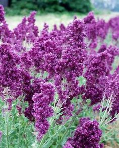 """Salvia 'Plumosa' - And now for something completely different... instead of the usual spikes that are common for Salvia we have large, fluffy plumes. Height 18"""". Zones 4-8"""