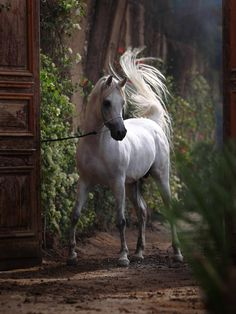 Arabian horse beauty