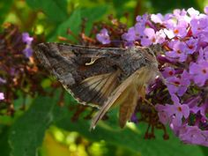 butterflies and moths   colin butterflies and moths insects kingdom animalia autographa gamma ...