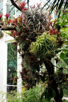"""awesome air plant """"tree"""""""