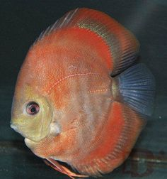 Bulldog Red Cover Discus Fish