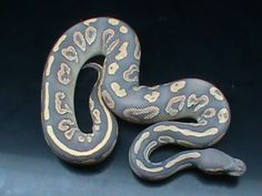 Black Pastel Mojave Orange Ghost - Morph List - World of Ball Pythons Pretty Snakes, Cool Snakes, Beautiful Snakes, Animals Beautiful, Python Royal, Cute Reptiles, Reptiles And Amphibians, Dream Snake, Snake Enclosure