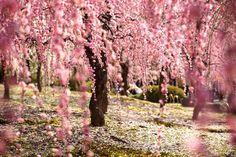 Beautiful Sakura or Cherry Blossom Flower during spring in Japan