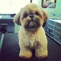 Dougie the shih-tzu | Yelp