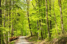 Wonderful green trees in the forest in spring, beautiful nature in the nature park Schoenbuch (Naturpark Schönbuch), Germany. Available as poster, framed fine art print or canvas print with 30 days money back guarantee. (c) Matthias Hauser hauserfoto.com